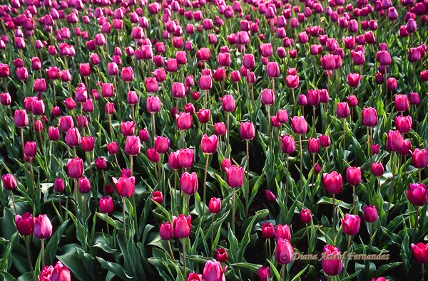A-Sea-of-Fushia-Tulips
