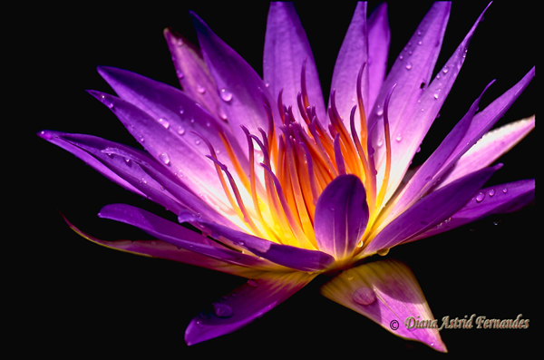 African-Purple-Lotus