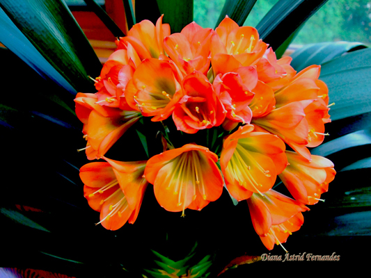 Clivia-bloom