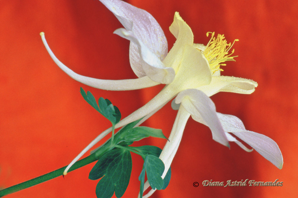Columbine-against-red-background