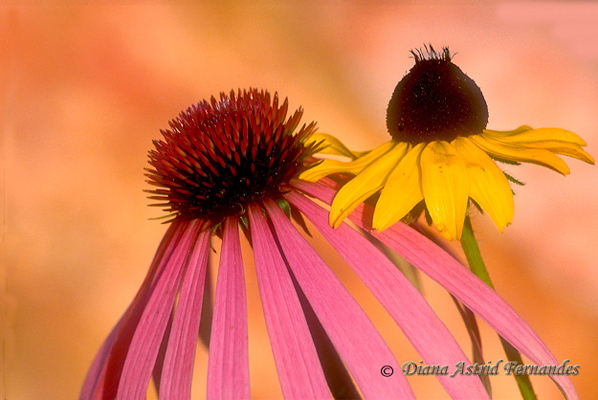 Cone-Flower-and-Daisy