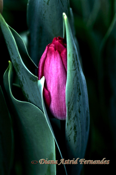 Fushia-Tulip-Bud-all-tucked-in