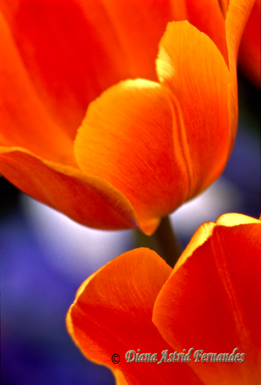 Orange-Blooms-in-juxata-position