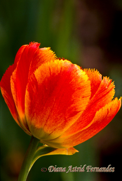 Orange-Tulip---looking-forward