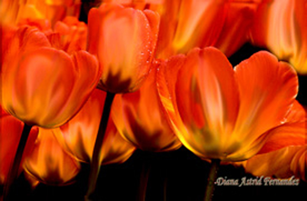 Orange-Tulips bunch