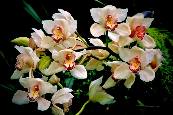 Orchid-Spray-white-and-pink