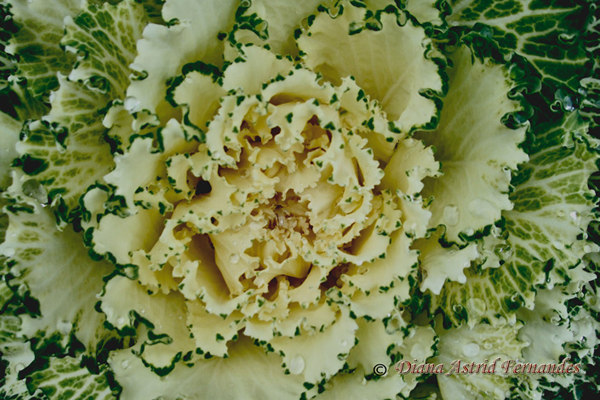 White-&-Green-Cabbage