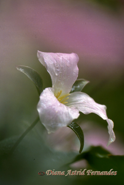 White-Trillium-with-a-hint-of-pink