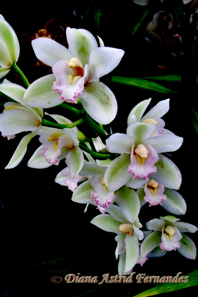 White-and-Mauve-Orchid