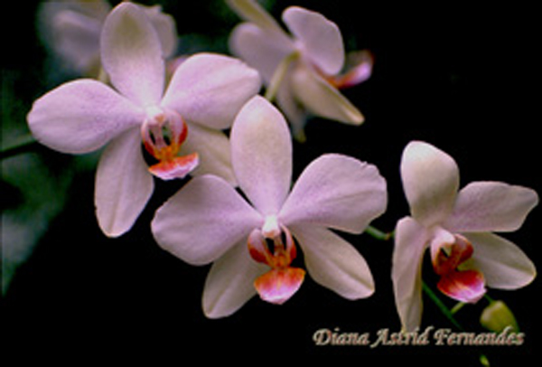 spray-white-orchids-with-love