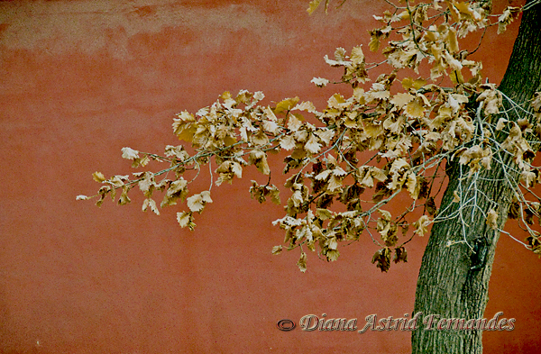 China-tree-with-gold-leaves-against-red-wall