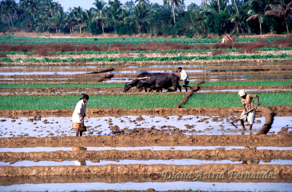 India-Goa-rice-paddy-field-workers