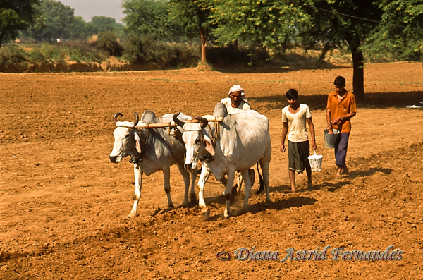 India-Ploughing-field-with-oxens-Goa