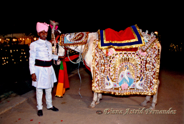 India-horse-for-a-prince-bridegroom-Rajasthan
