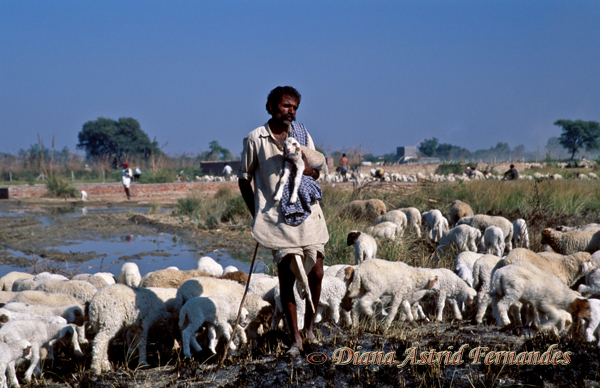 India-shepherd-with-flock-of-sheep-Rajasthan